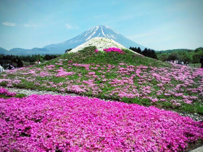 Fuji Shiba-sakura Festival / Foto: Marco Montero Pisani (unsplash)